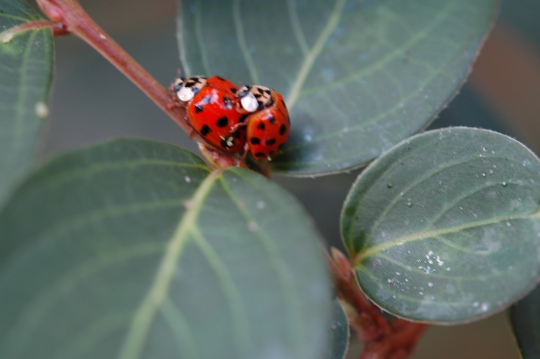 Two red ladybugs on green, one mounted up on the other caught in the act. You naughty ladybugs!